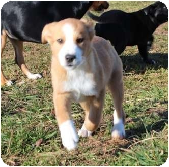 Labrador Retriever Mix Puppy for adoption in Portland, Maine - When