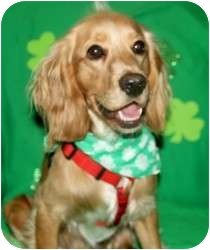 Cocker Spaniel/Golden Retriever Mix Dog for adoption in Wayne, New Jersey - O'Malley