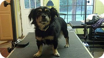 Chihuahua/Pomeranian Mix Dog for adoption in Beacon, New York - Stefie