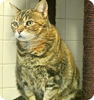 Domestic Shorthair Cat for adoption in white settlment, Texas - Prissy