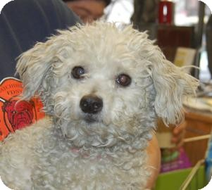 Poodle (Miniature) Mix Dog for adoption in Brooklyn, New York - Snowball