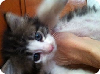 Maine Coon Kitten for adoption in Santa Monica, California - Milly