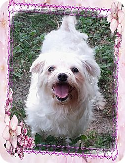 Maltese/Poodle (Toy or Tea Cup) Mix Dog for adoption in Houston, Texas - CANDI