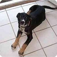 Adopt A Pet :: Gretchen - Alexandria, VA