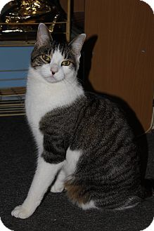 Domestic Shorthair Cat for adoption in Hamilton., Ontario - cody