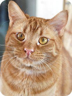 Domestic Shorthair Cat for adoption in Homewood, Alabama - Hobbs
