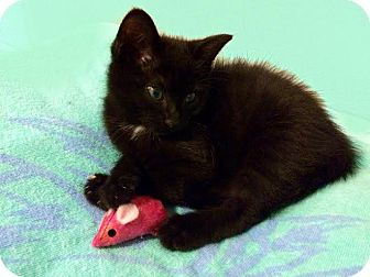Domestic Shorthair Kitten for adoption in Charlotte, North Carolina - A..  Giselle
