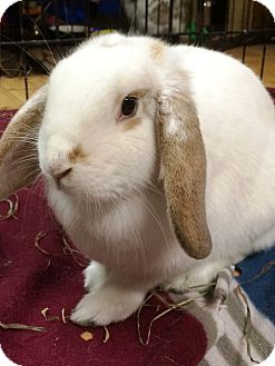 Mini Lop Mix for adoption in Edinburg, Pennsylvania - Cassie