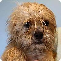 Adopt A Pet :: Brandi - Shawnee Mission, KS