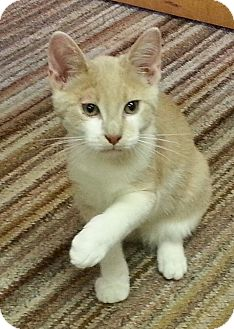 Domestic Shorthair Kitten for adoption in Statesville, North Carolina - Goose