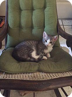 Domestic Shorthair Kitten for adoption in San Leandro, California - Duffy