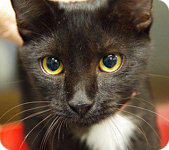 Domestic Shorthair Cat for adoption in Daytona Beach, Florida - Midnight