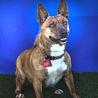 Jack Russell Terrier/Terrier (Unknown Type, Small) Mix Dog for adoption in Toluca Lake, California - Katie Katz