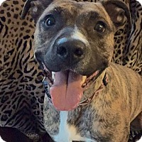 Adopt A Pet :: Violet - New Canaan, CT