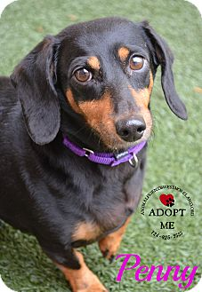 Dachshund Dog for adoption in Youngwood, Pennsylvania - Penny