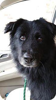 Australian Shepherd Mix Dog for adoption in Burlington, North Carolina - Marty