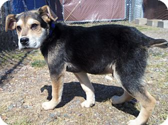 Beagle/German Shepherd Dog Mix Puppy for adoption in Medford, Wisconsin - STUART