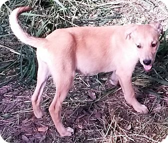 Golden Retriever/Labrador Retriever Mix Puppy for adoption in East Hartford, Connecticut - Crackers