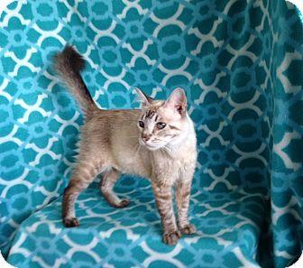 Siamese Cat for adoption in Thomaston, Georgia - Alysia and kittens