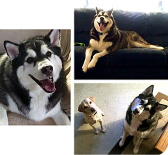 Siberian Husky Mix Dog for adoption in Boyertown, Pennsylvania - Rosco