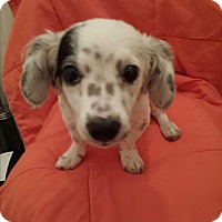 Adopt A Pet :: Tema - Encino, CA