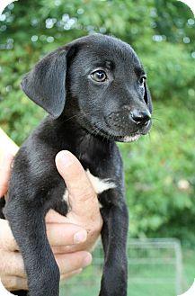 Labrador Retriever Mix Puppy for adoption in Hayes, Virginia - Roxy Girl 2