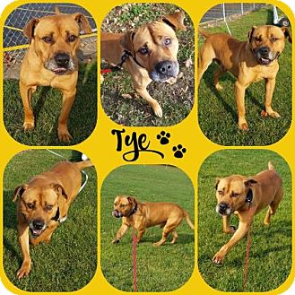 American Pit Bull Terrier Mix Dog for adoption in Joliet, Illinois - Tye