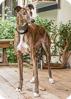 Greyhound Dog for adoption in Walnut Creek, California - Flappy