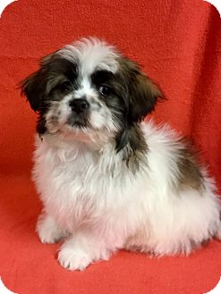Shih Tzu Mix Puppy for adoption in La Verne, California - Moxy