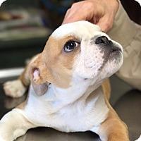 Adopt A Pet :: Hogan - Columbus, OH