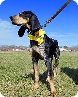Bluetick Coonhound Mix Dog for adoption in St. Francisville, Louisiana - Penelope