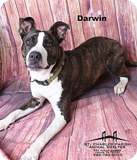 Pit Bull Terrier/Husky Mix Dog for adoption in Luling, Louisiana - Darwin