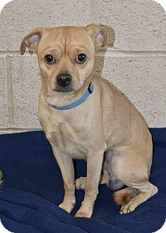 Pug Mix Dog for adoption in Greensburg, Pennsylvania - Roscoe