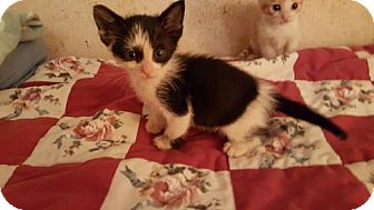 Domestic Shorthair Cat for adoption in Melbourne, Florida - Oreo