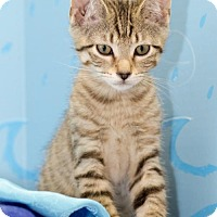 Adopt A Pet :: Indra - Glastonbury, CT