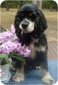 Cocker Spaniel Dog for adoption in Sugarland, Texas - Gus