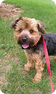Yorkie, Yorkshire Terrier Mix Dog for adoption in Orland Park, Illinois - Edy