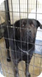 Labrador Retriever/Rottweiler Mix Dog for adoption in Chicago, Illinois - Gary (Urgent!)