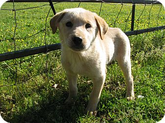 Labrador Retriever/Great Pyrenees Mix Puppy for adoption in Hartford, Connecticut - Quasi