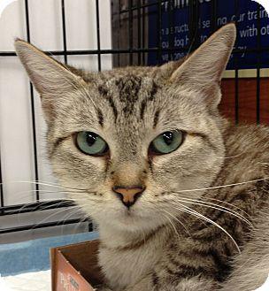 Egyptian Mau Cat for adoption in Houston, Texas - Nessie