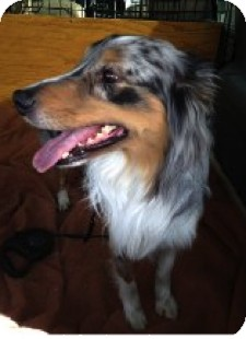 Australian Shepherd Dog for adoption in Minneapolis, Minnesota - Shoshi