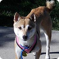 Adopt A Pet :: Kohana - Centennial, CO