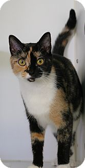 Calico Cat for adoption in Staunton, Virginia - Camo