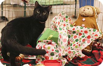 Bombay Cat for adoption in Newtown, Connecticut - Aramesis