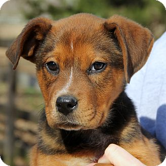 German Shepherd Dog/Labrador Retriever Mix Puppy for adoption in Chicago, Illinois - TUCKER - handsome & smart