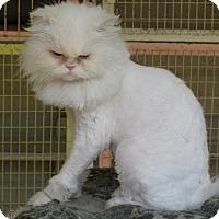Adopt A Pet :: Persia - Beverly Hills, CA