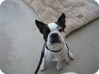 Boston Terrier Mix Dog for adoption in Los Banos, California - Buddy