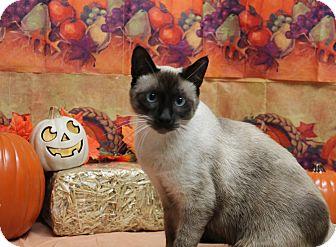 Siamese Cat for adoption in Stockton, California - Pharaoh