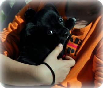 Pug/Chihuahua Mix Puppy for adoption in Orland, California - JULIET