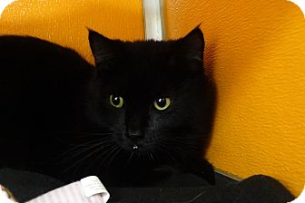 Domestic Shorthair Cat for adoption in Elyria, Ohio - Prince